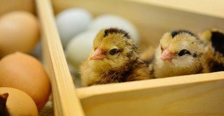 chicks-2232987__340